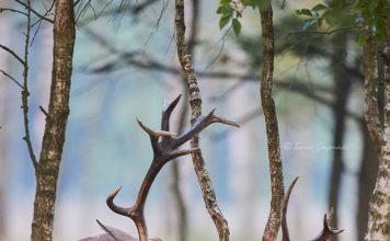 Rykowisko, okres godowy jeleni szlachetnych - Lasy Nadleśnictwa Kluczbork